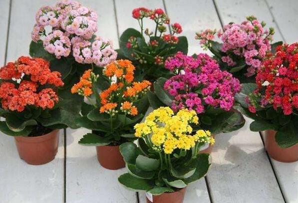 让长寿花开花有什么窍门?长寿花开花的几个条件分享